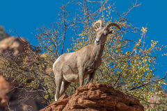 Brebis curieuse de mouflons d'Amérique de désert image stock