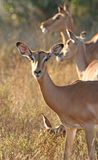 Brebis d'Impala Photos stock
