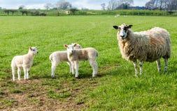 Brebis de Dalesbred, mouton de mère avec trois agneaux dans le printemps photographie stock libre de droits