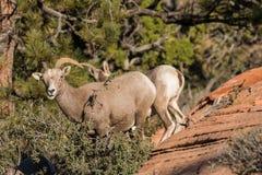 Brebis de mouflons d'Amérique de désert photographie stock libre de droits
