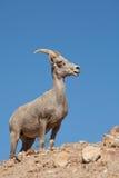 Brebis de mouflons d'Amérique de désert sur Ridge Photographie stock