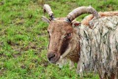 Brebis de moutons de Soay Photographie stock libre de droits