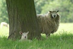 Brebis et agneau Image stock