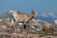 Brebis et agneau de mouflons d'Amérique Images stock