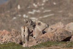 Brebis et agneau de mouflons d'Amérique Photographie stock libre de droits