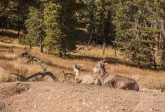 Brebis et agneau de mouflons d'Amérique Image stock