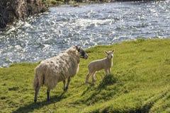Brebis et agneau sur une berge Photo libre de droits