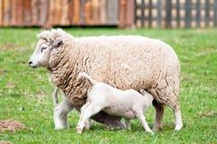 Brebis et agneaux image stock