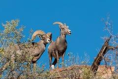 Brebis et Ram Desert Bighorn Sheep Image libre de droits