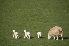 Brebis et triplets dans un domaine photographie stock