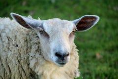 Brebis, plan rapproch? sur un mouton images stock