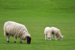 Brebis simple et deux agneaux frôlant dans un domaine Image stock