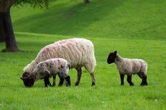 Brebis simple et deux agneaux suivant et frôlant Image stock