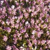 breckland owoc serpyllum macierzanki thymus Obrazy Royalty Free