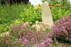 Breckland thyme. Garden design. Stock Image
