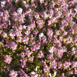 Breckland Thyme (Thymus serpyllum) with fruits Royalty Free Stock Images