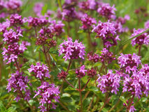 Breckland thyme Stock Images