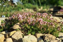 Breckland thyme, wild thyme on the stone wall. Royalty Free Stock Photography