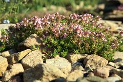 Breckland thyme, wild thyme on the stone wall. Royalty Free Stock Photo