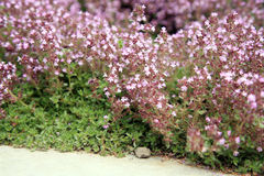 Breckland thyme, wild thyme on the stone wall. Stock Photos