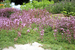 Breckland thyme, wild thyme on the stone wall Stock Photos