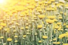 Bred bakgrund för kamomillblommafält i solljus carefree varm begreppstusenskönasommar fotografering för bildbyråer