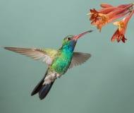 Bred-fakturerad kolibri Arkivbilder