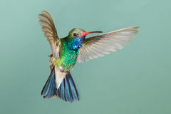 Bred-fakturerad kolibri Arkivfoton