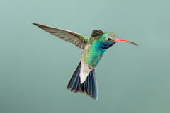 Bred-fakturerad kolibri Arkivfoto