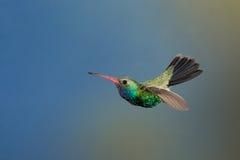 Bred-fakturerad kolibri Arkivbild