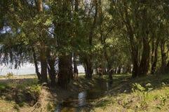 Bred flod och liten liten vik i sommaräng poppel ner som snö Juni juli Royaltyfria Foton