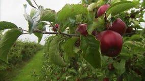 Bred grön äpplelantgård lager videofilmer