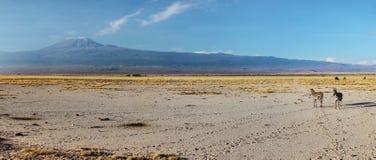 Bred panorama för hög upplösning av för sebraEquus för två slättar quaggaen, arkivbilder
