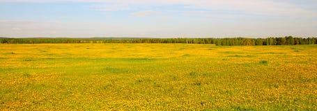 Bred sikt av det gula blomma fältet royaltyfri fotografi