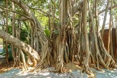 Bred sikt av det mycket gamla banyanträdet i en grön trädgård, Chennai, Indien, April 01 2017 Royaltyfri Bild