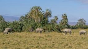 Bred sikt av elefanter som matar på amboselien, Kenya royaltyfria bilder