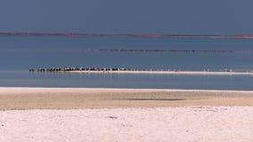 Bred sikt av fåglar på stranden lager videofilmer