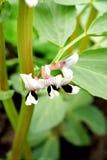 bred växt för böna Arkivbild
