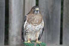 Bred-vinge hök på sittpinnen Royaltyfria Bilder