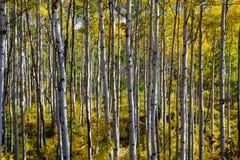 Bred vinkel Aspen Grove Arkivbilder