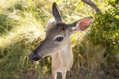 Bred vinkel för extrem closeup som skjutas av hjortar Royaltyfria Bilder