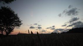 Bred vinkeldocka som skjutas runt om vetefält, och träd silhouetted mot en magisk timme för solnedgång lager videofilmer