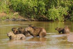 Bred vinkelsikt av Capybaraflocken på varning i vatten Arkivbild