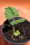 Breda Bean Seedling arkivbilder