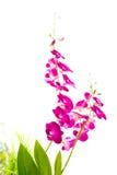 breda orientaliska leaveorchids Royaltyfria Foton
