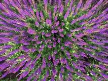 Brede die hoekantenne van een gebied van purpere bloemen wordt geschoten Stock Foto's