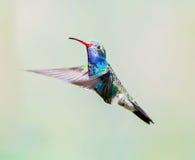 Brede Gefactureerde Kolibrie (Mannetje) Stock Afbeelding