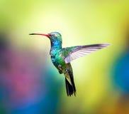 Brede Gefactureerde Kolibrie (Mannetje) Royalty-vrije Stock Foto's