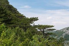Brede kroon van de boom van de bergpijnboom op helling en pijnboombos Stock Foto's
