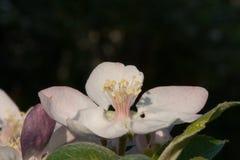 Brede open appelbloem die met stamens bloeien royalty-vrije stock afbeeldingen